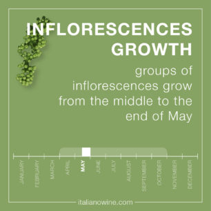 Infiorescenze EN inflorescences